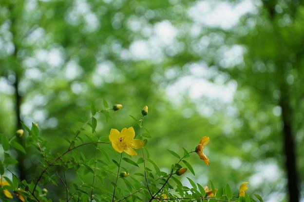 新緑の中でキンシバイ(金糸梅)  メタセコイアの並木道