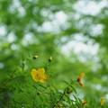 Photos: 新緑の中でキンシバイ(金糸梅)  メタセコイアの並木道