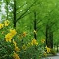 メタセコイアの並木道 新緑の中でキンシバイ(金糸梅)