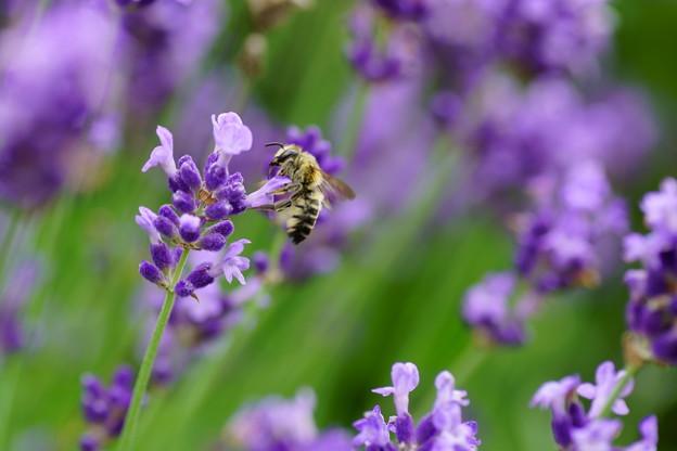 Photos: ラベンダーにミツバチくん