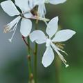 白蝶草に小さなヒラタアブ
