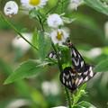 ウメエダシャク  害虫(蛾)