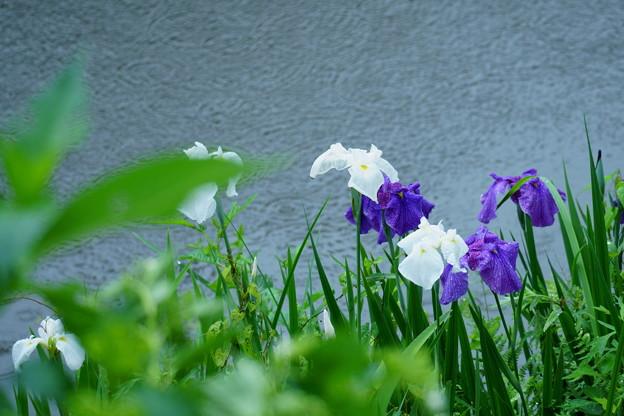 花菖蒲(2)