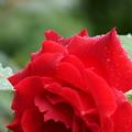 真紅の薔薇  しずく ゜〇○〇゜○(1)