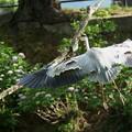 アオサギさん(2) 大きな翼