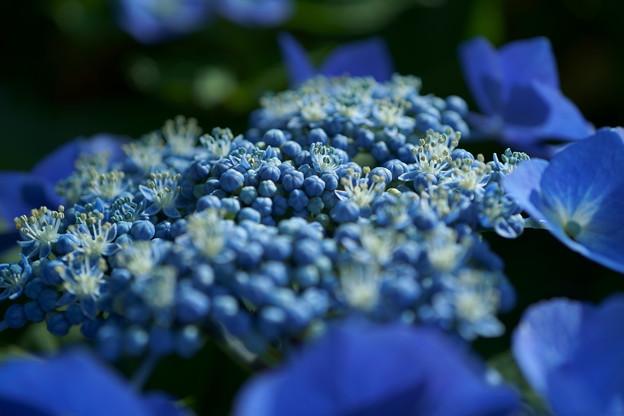 ブルーのガクアジサイ