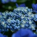 Photos: ブルーのガクアジサイ