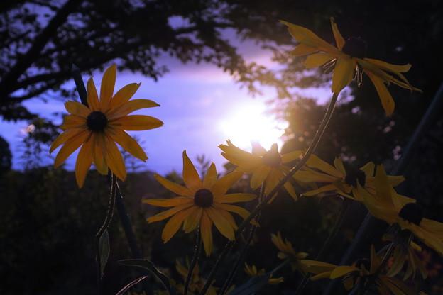 夕日とルドベキア