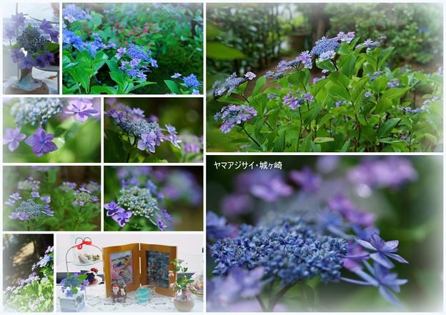 Photos: ヤマアジサイ 城ヶ崎