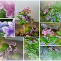 紫陽花 コンペイトウ