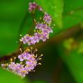 コムラサキの小さな花