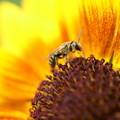 小さなひまわりに蜂くん