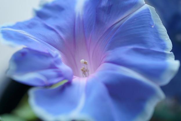 朝顔   一番花