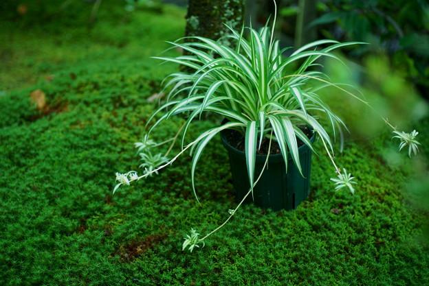 オリヅルラン 杉苔