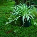 Photos: オリヅルラン 杉苔