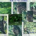 Photos: 兼六園 アオバズク ヒナの巣立ち(1)