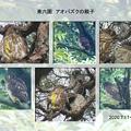 Photos: 兼六園 アオバズク ヒナの巣立ち(2)