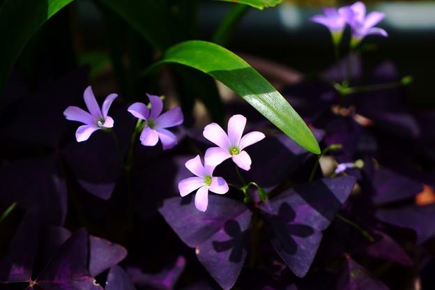 紫の舞 (オキザリス・トリアングラリス)