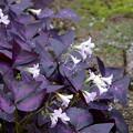 Photos: 紫の舞 (オキザリス・トリアングラリス)