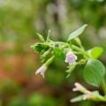 トウバナ? 小さな花