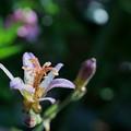 ホトトギスが開花