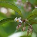 Photos: 万両の花と蕾