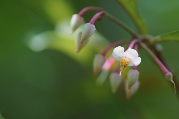 Photos: 万両の花