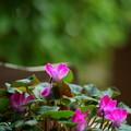 夏も咲いているシクラメン