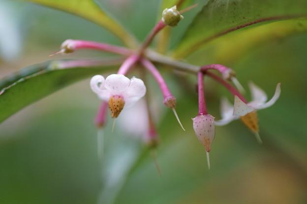 Photos: マンリョウの花