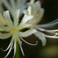 白い彼岸花(2)