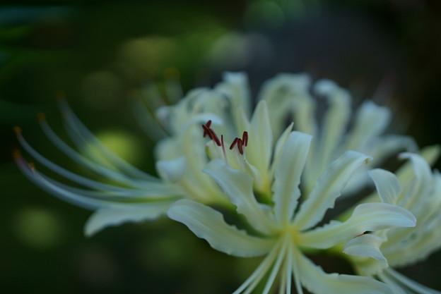 白い彼岸花(3)