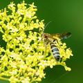オミナエシ 蜂