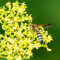 Photos: オミナエシ 蜂