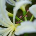 ミズヒキ 白いヒガンバナの間から開花