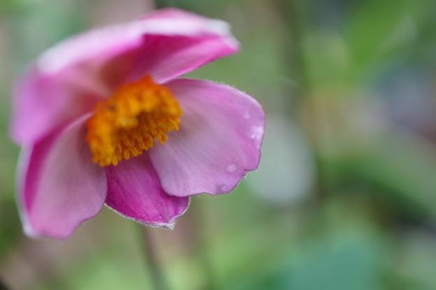 シュウメイギクが開花