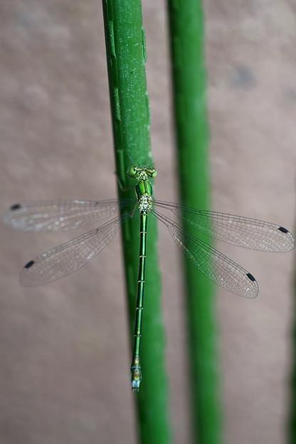 緑のイトトンボ