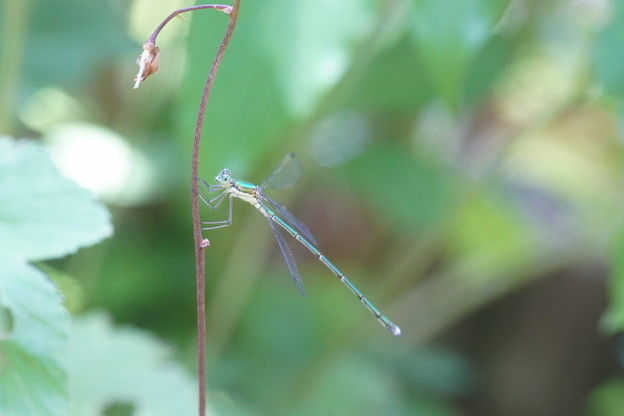 Photos: イトトンボ  妖精?が棲む庭