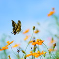 キバナコスモスとアゲハチョウ