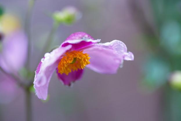 シュウメイギク(秋明菊) 花傘のしずく
