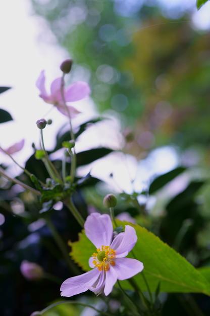 ピンクの秋明菊
