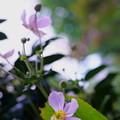Photos: ピンクの秋明菊