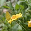 キチョウ 黄色い花に