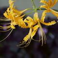 Photos: 黄色いヒガンバナ