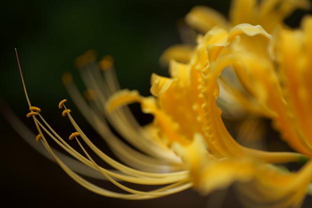 Photos: ヒガンバナ 黄色