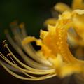 ヒガンバナ 黄色