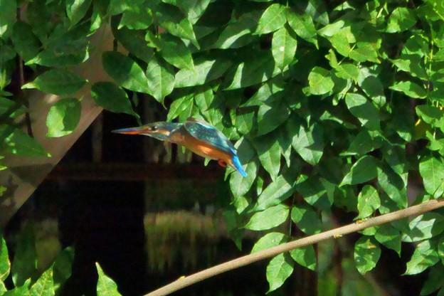 カワセミの飛翔(3)