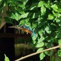 カワセミの飛翔(1)