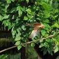 Photos: カワセミの飛翔(2)