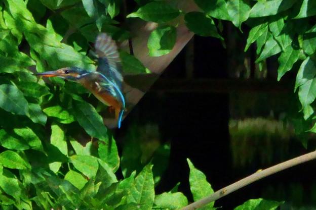 カワセミの飛翔(4)