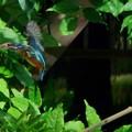 Photos: カワセミの飛翔(4)
